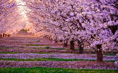 Two rows of cherry trees in full bloom, with orderly rows of blossoms piled up on the green grass.