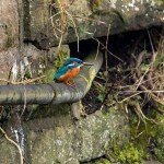 Kingfisher on an old pipe