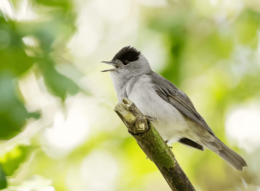Blackcap singing on branch