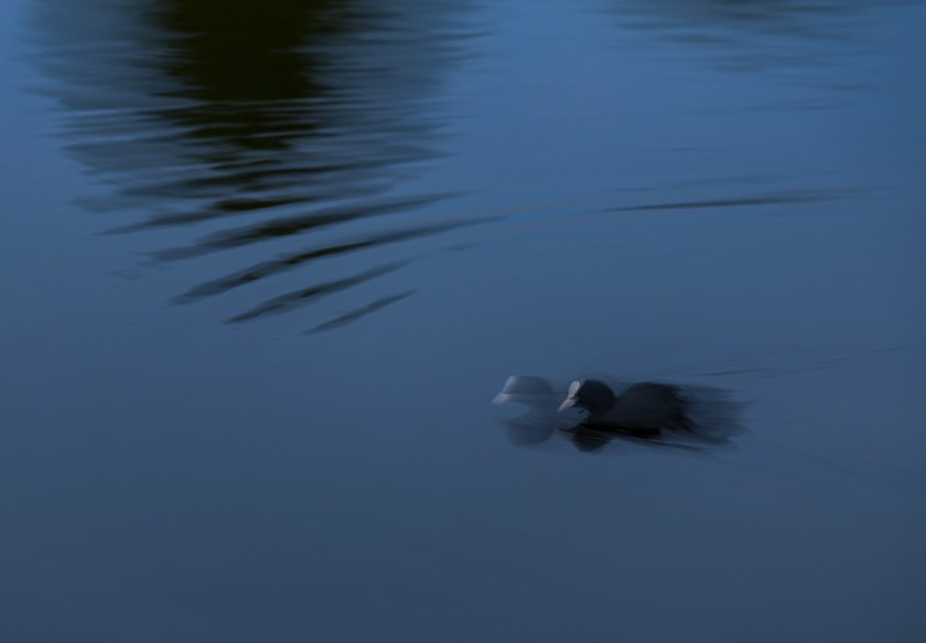 coot on the water at night