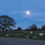 Fallow Deer by bin in Bushy park
