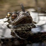 Toads on the water surface