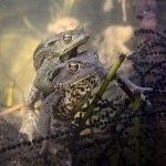 Young toads resting over spawn