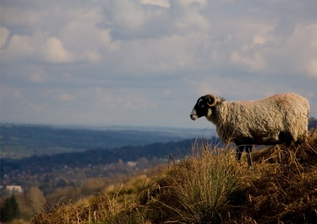 sheep overlooking ilkley, ilkley moor