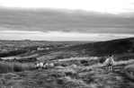 Sheep on Burley Moor, Yorkshire