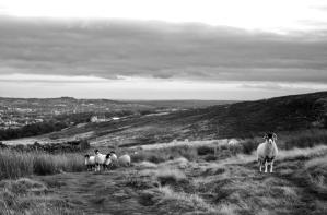 Sheep on Burley Moor, Yorkshire