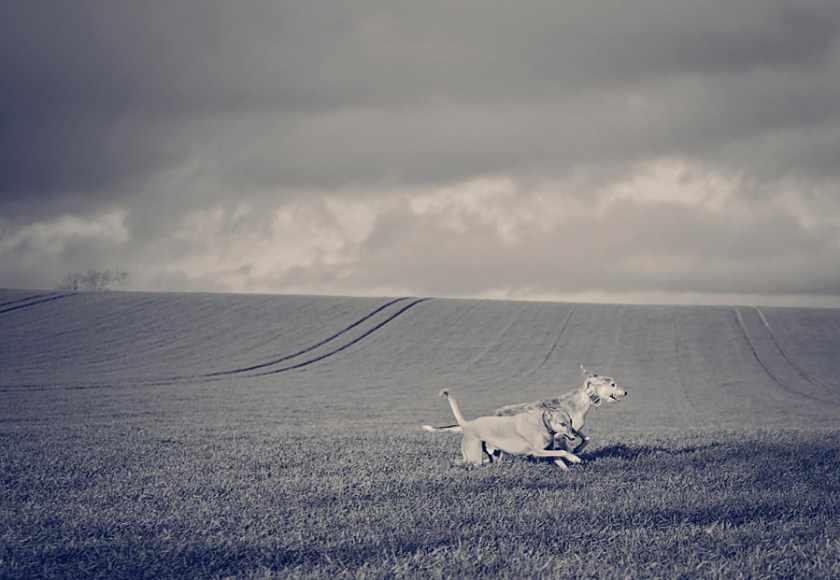 Lurchers running in a field