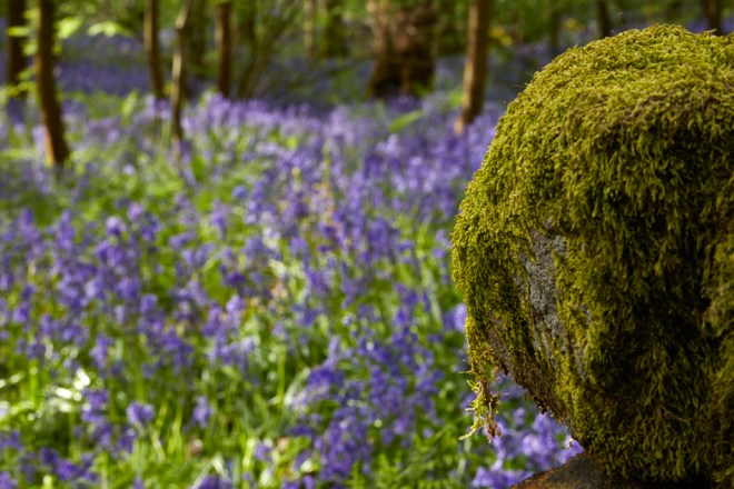 Bluebells at Middleton Woods