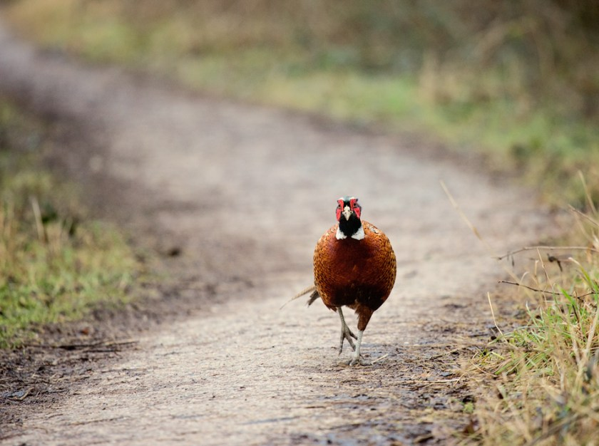 Ring necked pheasant male