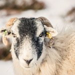 Swale dale Sheep on Yorkshire moor in snow