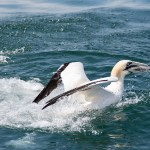 Gannet emerges with fish