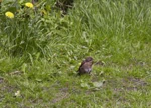 Thrush fledgling in Burley in wharfedale