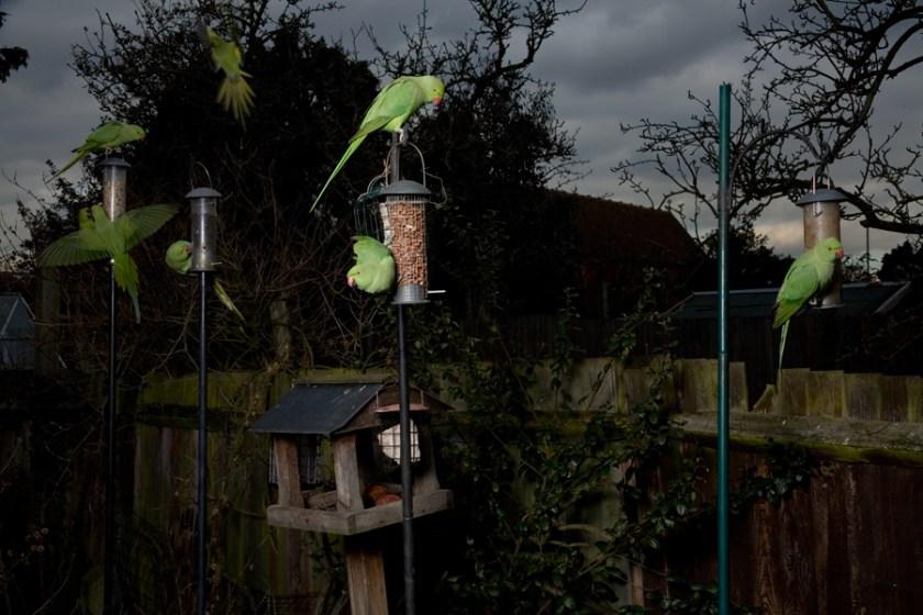 parakeets in a south london garden