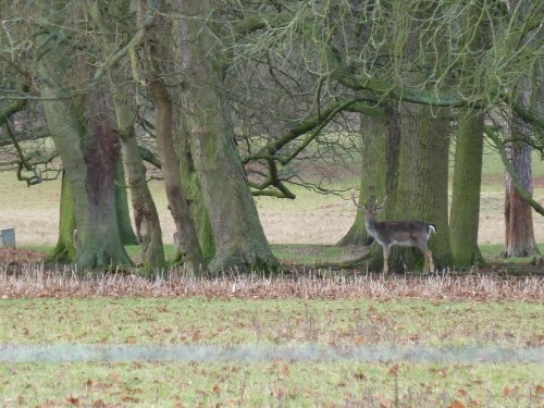 Quendon Hall Essex Deer Park Stag Ancient Woodland