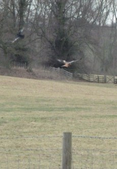 Walks And Walking - Hertfordshire Walks - St Albans Walking Route - Red Kite