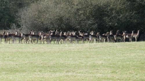 Walks And Walking - Epping Forest Queen Boudicca Obelisk Walking Route - Fallow Deers