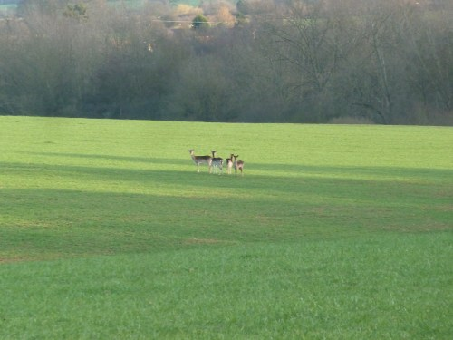 Walks And Walking - Essex Walks - Billericay to Chelmsford Walking Route - Deer at High Woods 1