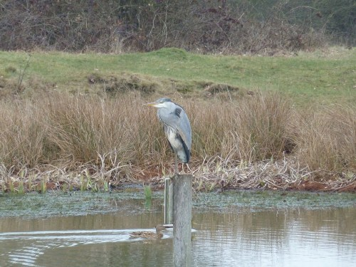 Walks And Walking - Essex Walks Epping Forest Kates Cellar Walking Route - Heron by Queen Elizabeth Hunting Lodge Pond