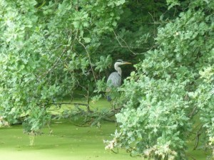 Walks And Walking – Epping Forest The Chestnut Trail Walking Route 2nd Heron