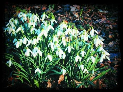 Walks And Walking - Spring Walks In Snowdrop Gardens