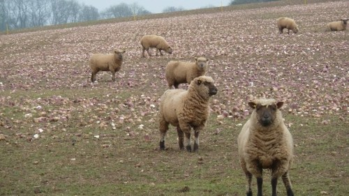 Walks And Walking - Cotswolds Walks Cheltenham Cotswold Way Walking Route - Sheep With Turnips or Mangel Wurzels