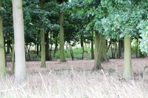 Walks And Walking - Epping Forest Bell Common Walking Route - Fallow Deer