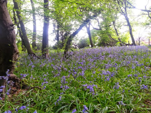 Walks And Walking – Where to find Bluebells in Epping Forest - Bluehouse Grove