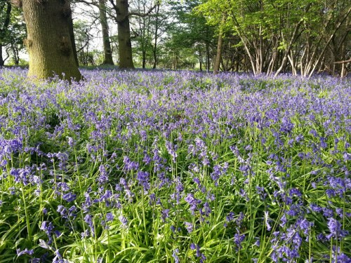 Walks And Walking – Where to find Bluebells in Epping Forest - Forest Way Upshire - Little Rookery Wood