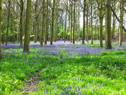 Walks And Walking - Where to find Bluebells in Epping Forest
