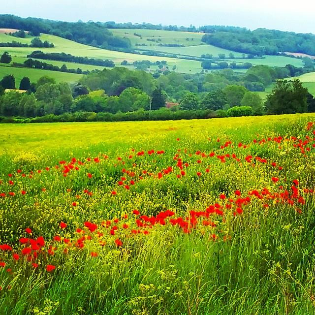 Walks And Walking - Elham Walk in Canterbury Kent - Poppy Field