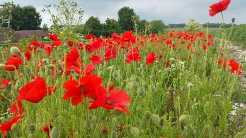 Walks And Walking - Barham Walk In Kent - Poppy Field