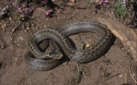 The smooth snake