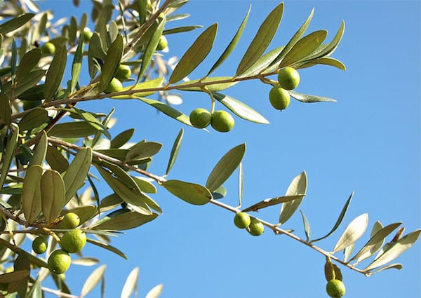 Italy is the second largest producer of olive oil, making the olive tree a common sight. Photo by Stew Dean
