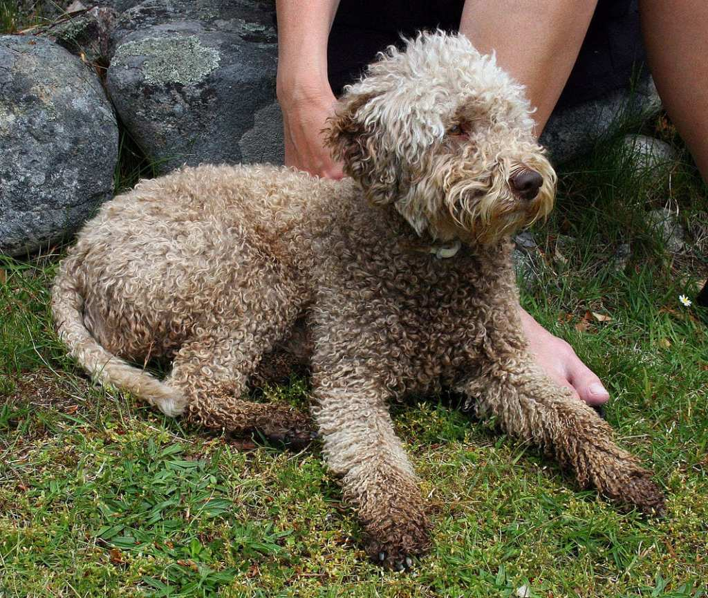 Truffle hunting in Italy is usually done with sharp-nosed dogs like the Lagotto Romagnolo breed