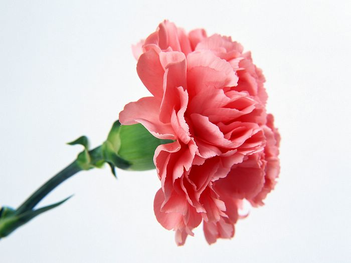1600x1200 Carnation Wallpaper   Mother s Day Carnation Flowers     1600x1200 Carnation Wallpaper   Mother s Day Carnation Flowers