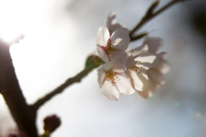 Cherry Blossoms @ the Grand Basin