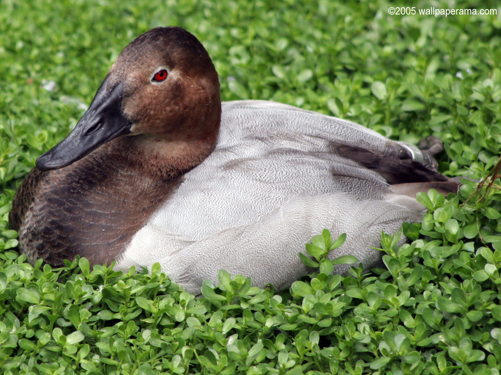 Red Eye Duck Wallpaper Free HD Backgrounds Images Pictures