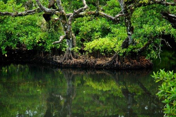 Mangrove High Resolution Jpeg wallpaper | nature and ...