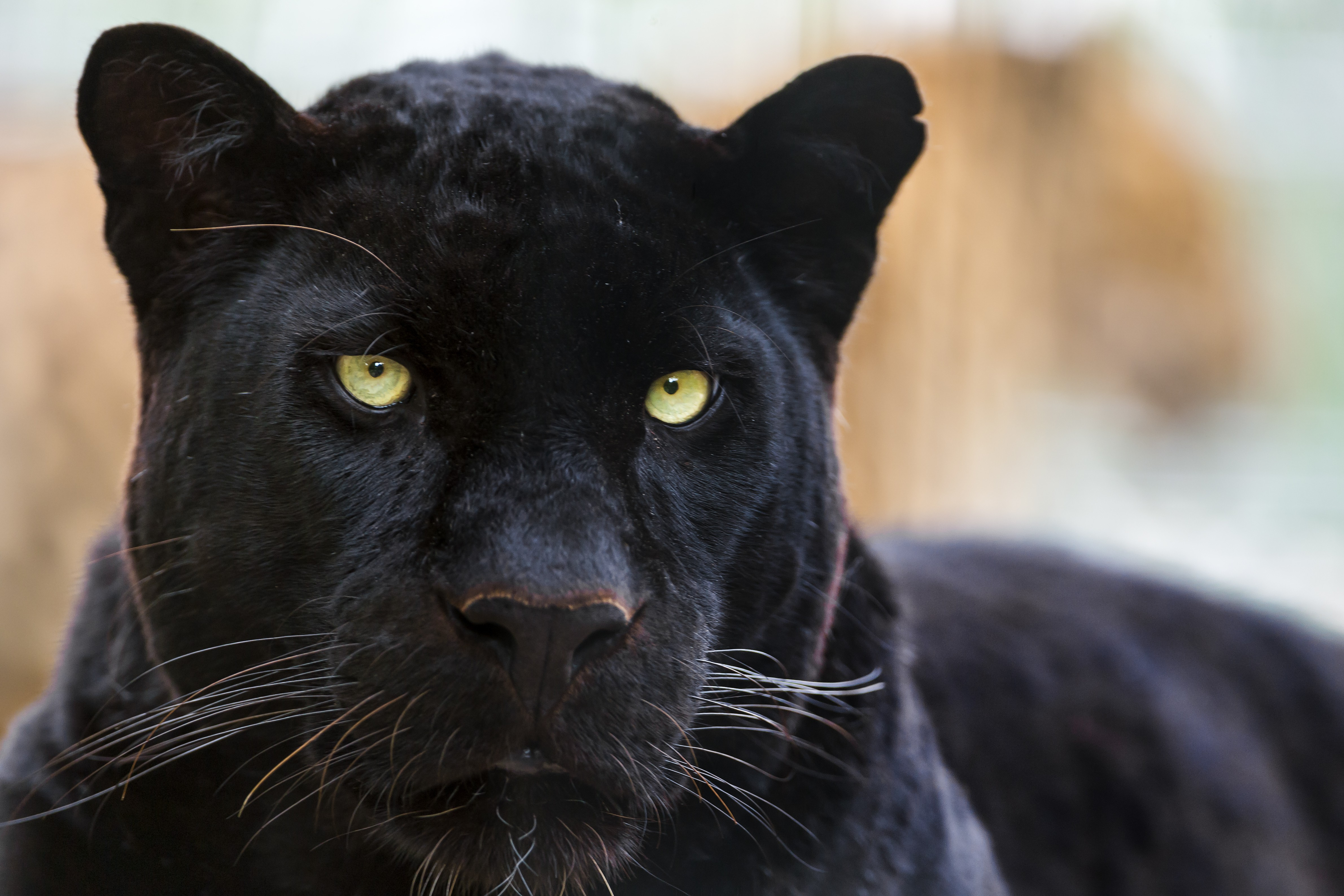 Black Wild Cat Puma Wallpaper Animals Wallpaper Better