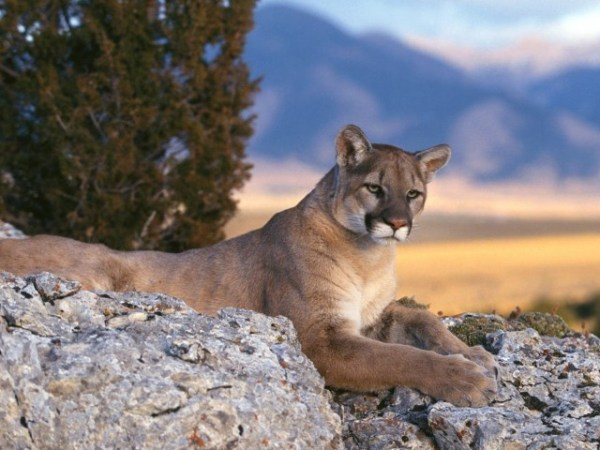 Big Cats Desktop Cool Wallpapers HD Backgrounds Page 3