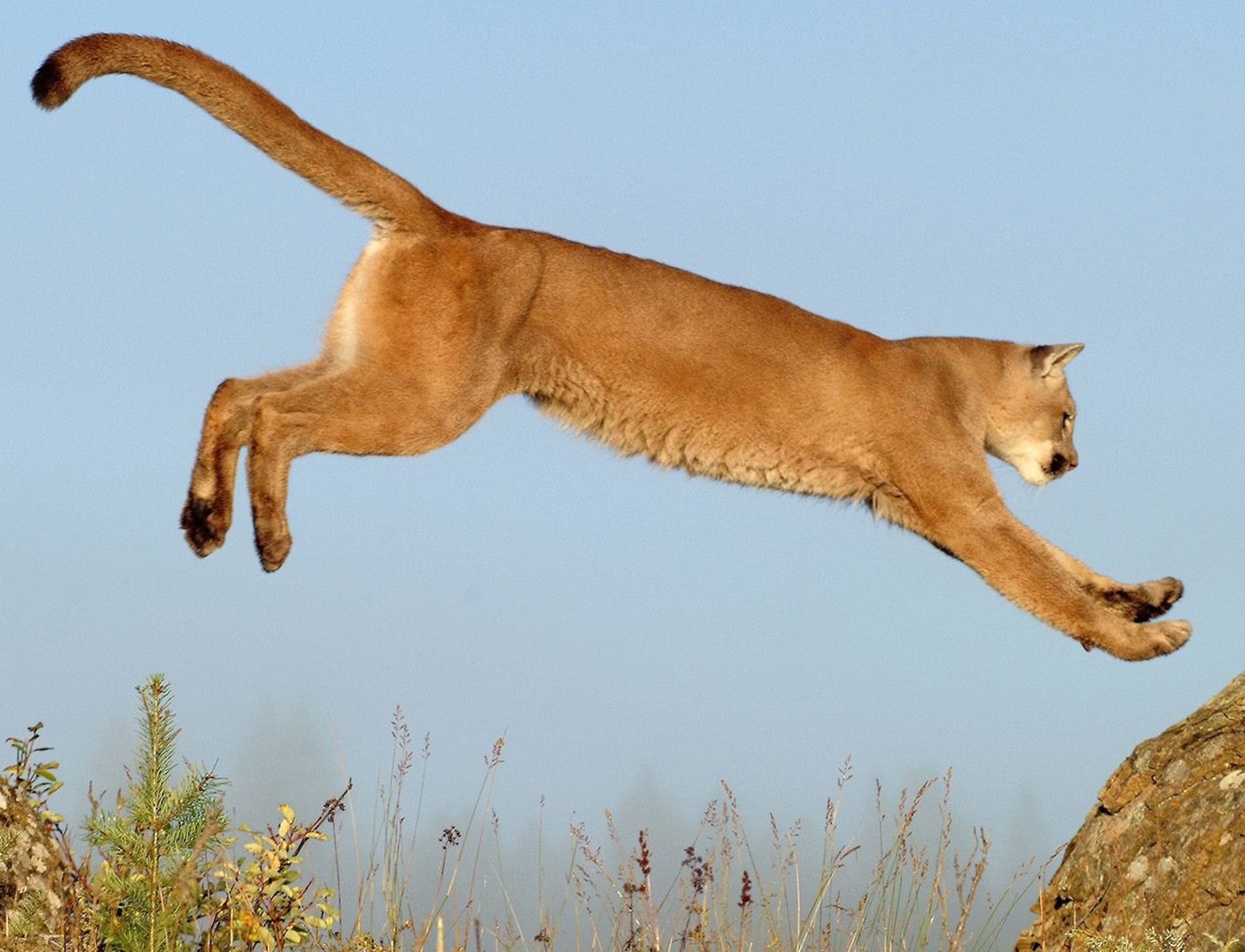 Leaping Cougar Wallpaper Free HD Big Cat Backgrounds