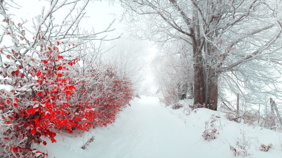 Download 2560x1440 Snow  Red Flowers  Winter  Trees Wallpapers for     Snow  Red Flowers  Winter  Trees