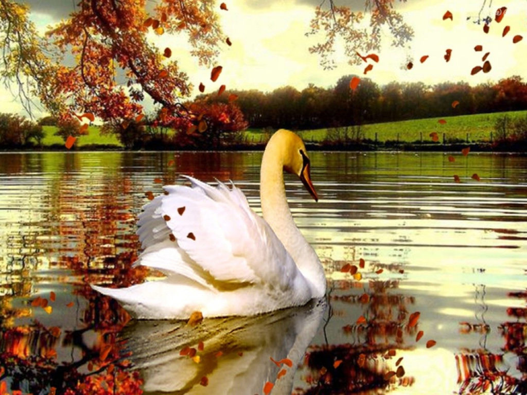 Fall Lake With Swans Beautiful Background