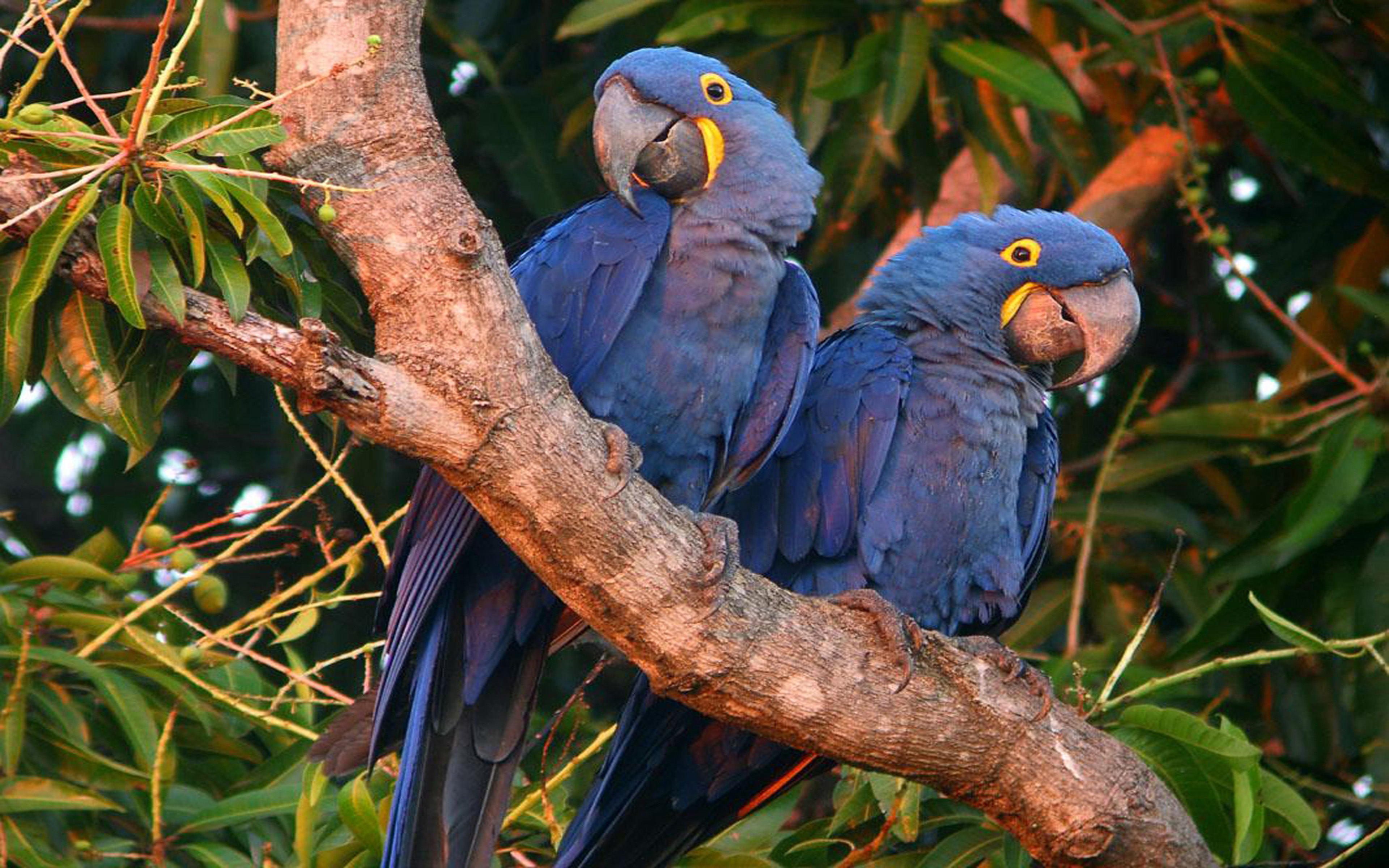 Hyacinth Macaw Wallpaper Native To Central And South