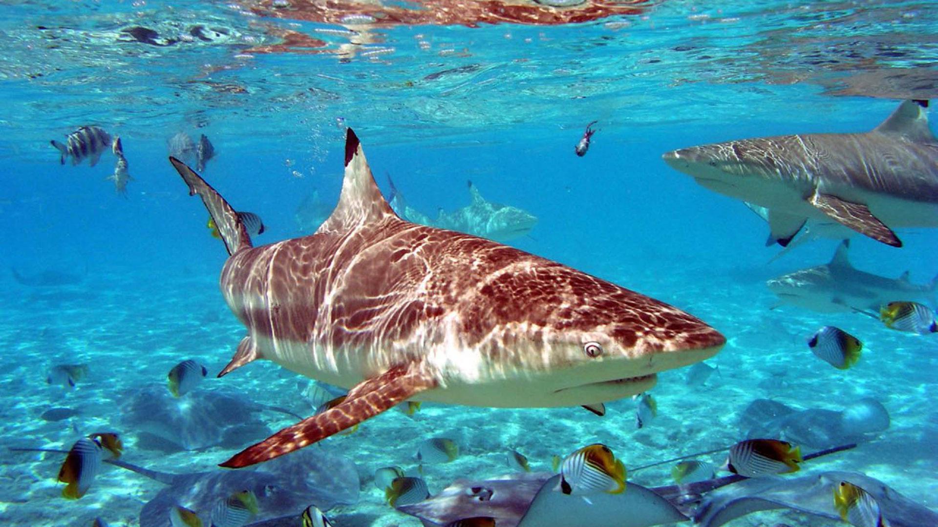 Shark Desktop Wallpaper Free Download