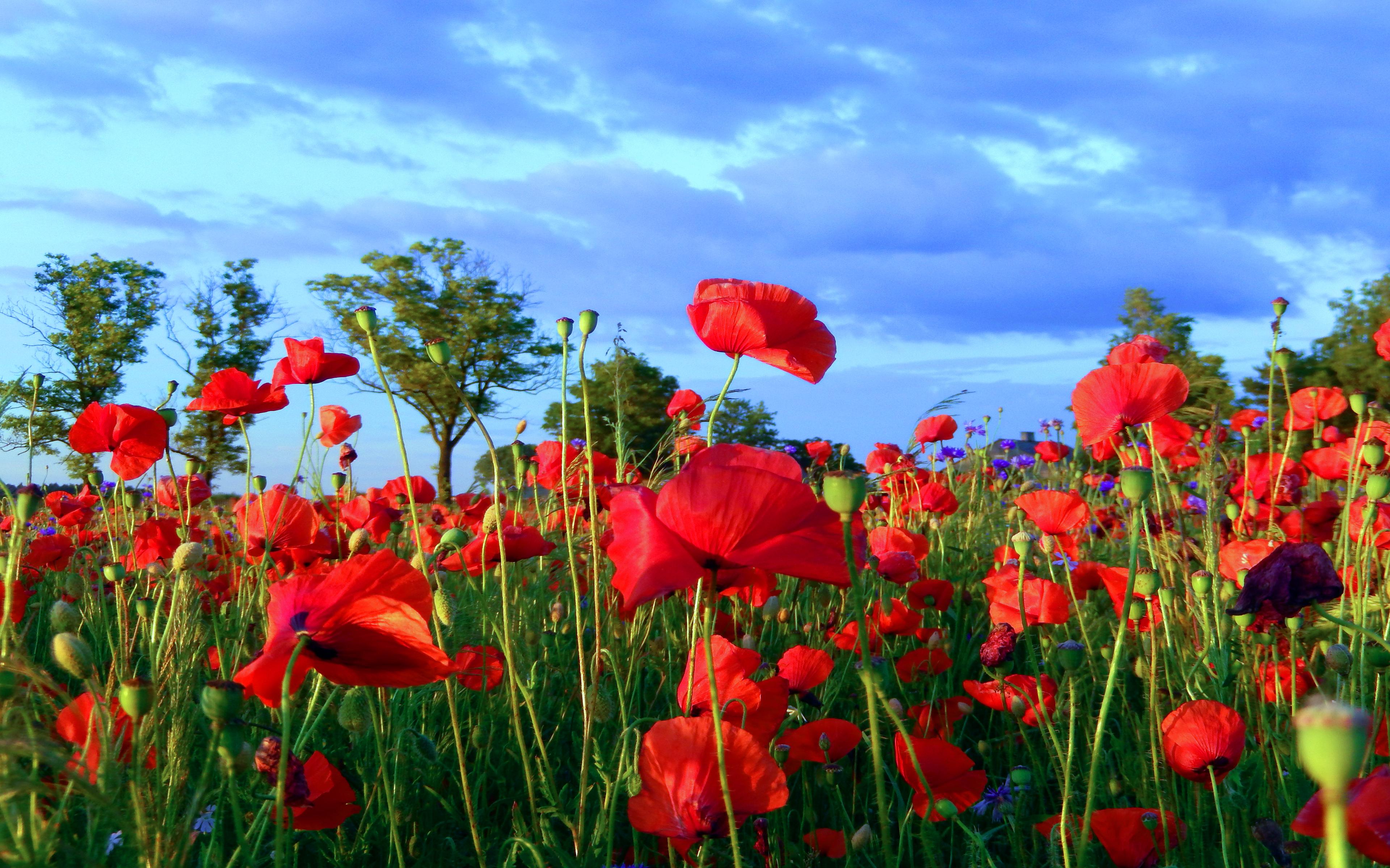 Poppy Field Red Flowers Wallpaper For Desktop