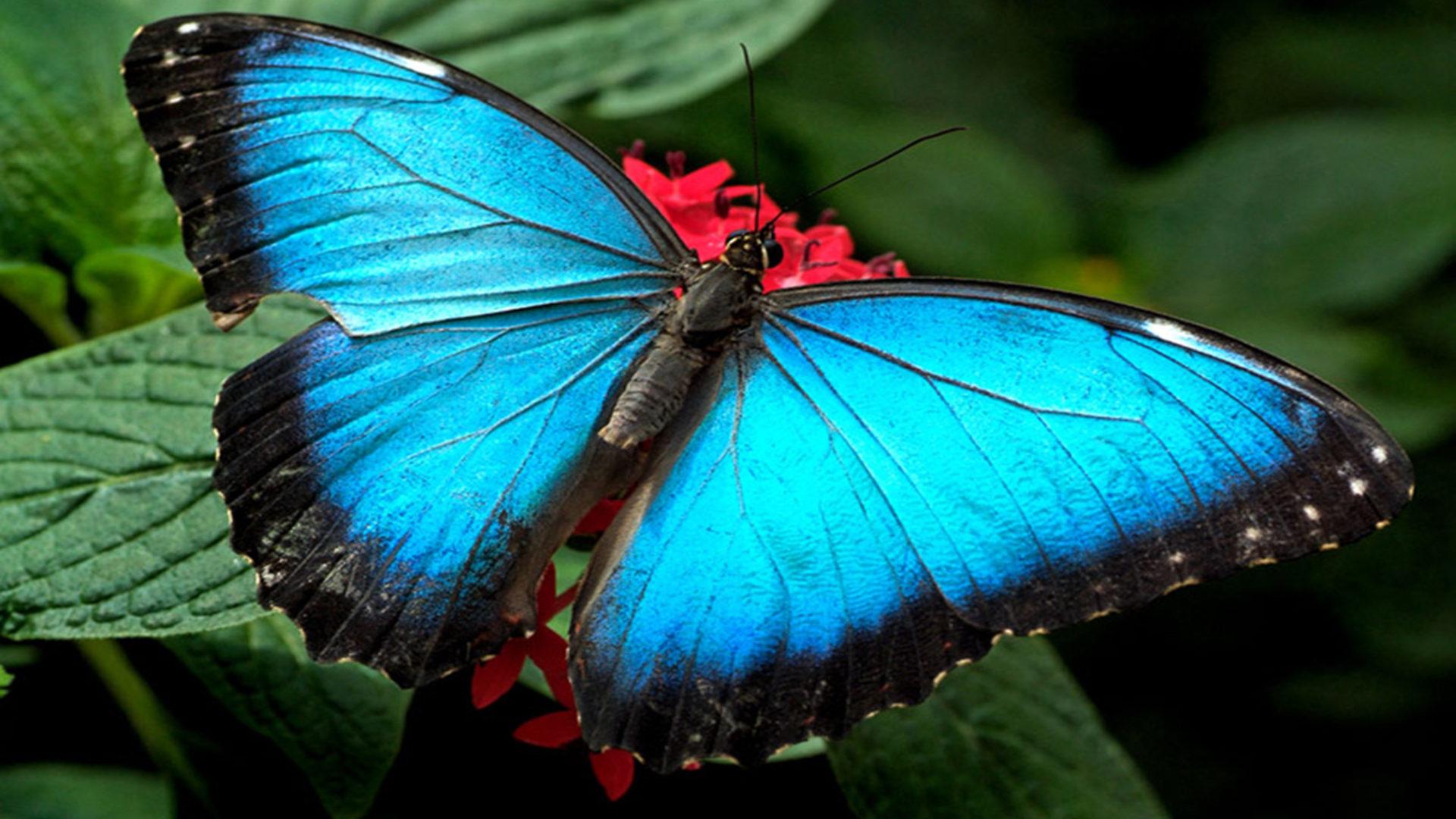 Blue Butterflies Wallpaper Hd