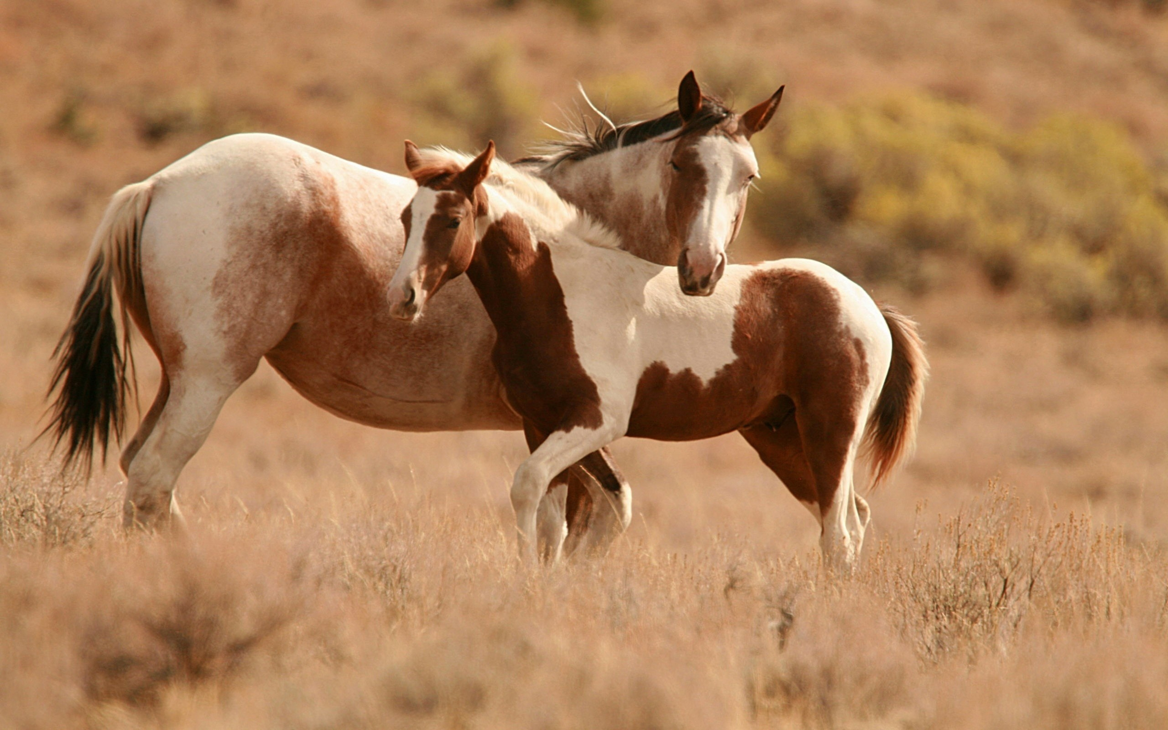 Mare And Foal Streaky Field Dry Grass Wallpaper Hd