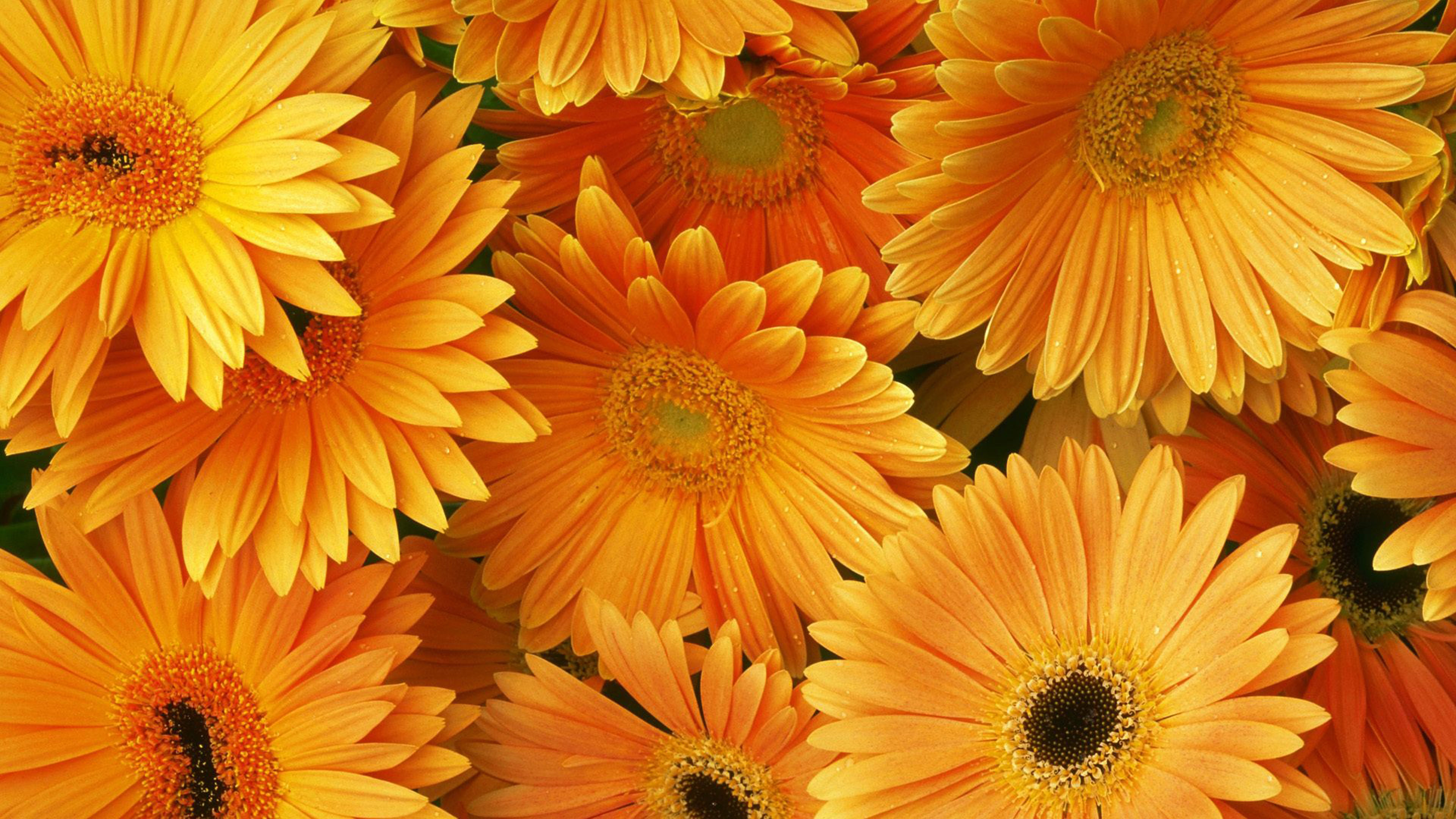 If you've checked out some of our suggested wallpaper resources, you've probably amassed quite a collection of swanky desktop wallpaper. Orange Flowers Hd Desktop Backgrounds Free Download