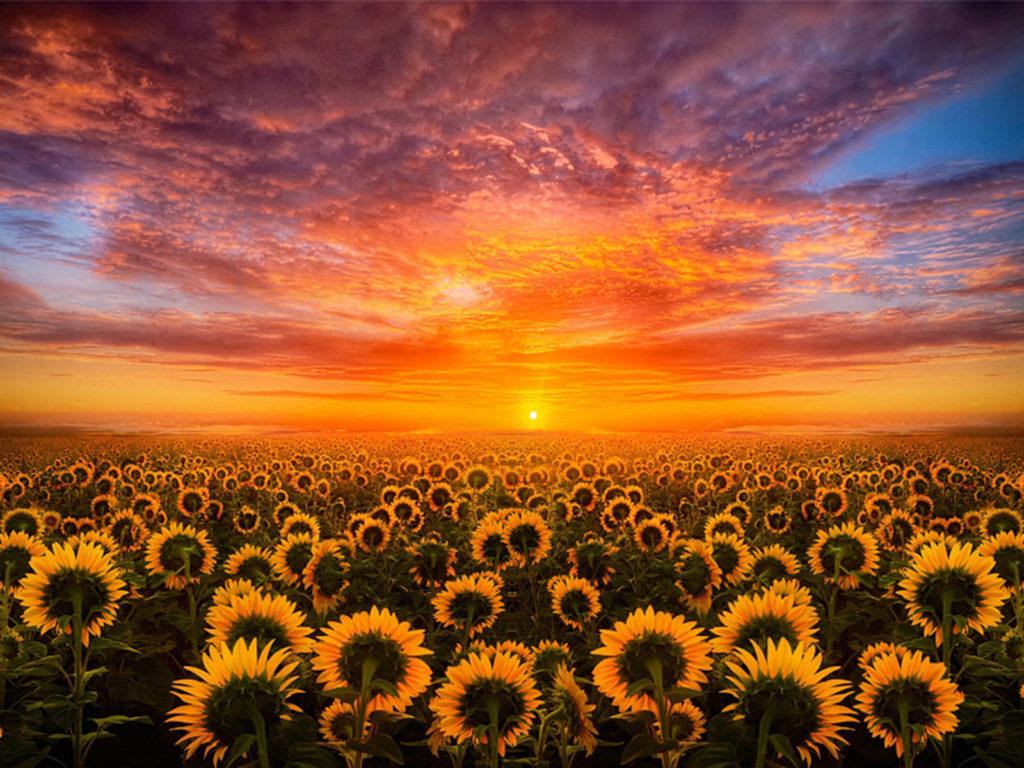 Pastel japanese wallpaper siboneycubancuisine com. Sunset Red Sky Cloud Field With Sunflower Hd Desktop